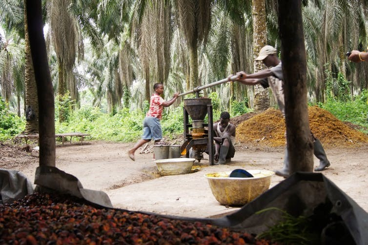 Palm oil being made by local workers in Liberia. Wikimedia/Panoramio, CC BY-SA