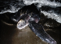 One of the leatherback turtles coming ashore on Dominic