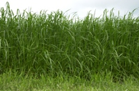 Sugars from grass can produce bioethanol and so much more.
