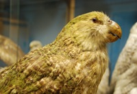 George the Kakapo