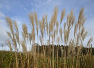 Miscanthus is also known as Elephant Grass