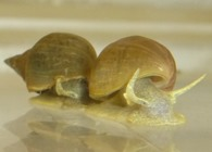 Slime trail following is found in many marine and freshwater snails