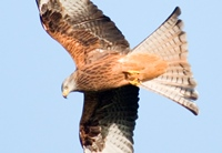 Red Kite - CREDIT Mike Hayward Welsh Kite Trust