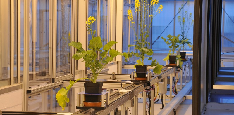 Rapeseed plants being scanned in the BBSRC funded National Plant Phenomics Centre at IBERS Aberystwyth University.