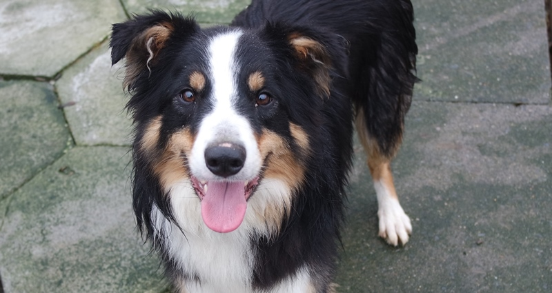 Sam the collie, an unclaimed stray who handed himself into Llandysul Library and who will be at Aberystwyth University Students' Union tomorrow, Wednesday 18 January.