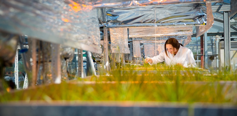Grass research at the Institute of Biological, Environmental and Rural Sciences at Aberystwyth University