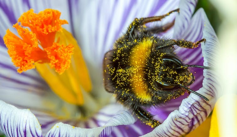 A buff tailed bumble bee emerges from a crocus covered in pollen. thatmacroguy/Shutterstock