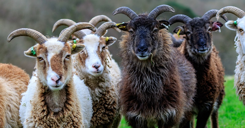 Some of the flock of Soay sheep based at IBERS' Pwllpeiran Upland Research Platform at Aberystwyth University.