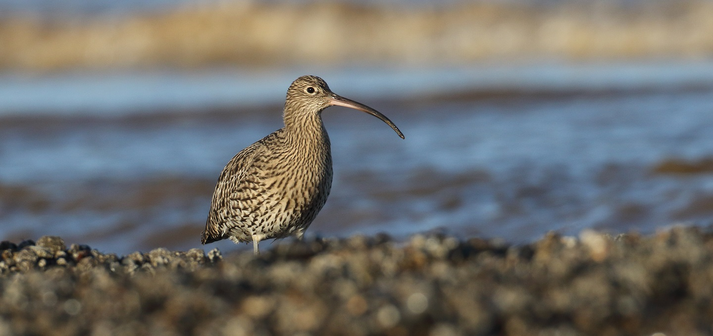 Curlew. Credit: Liz Cutting / British Trust for Ornithology